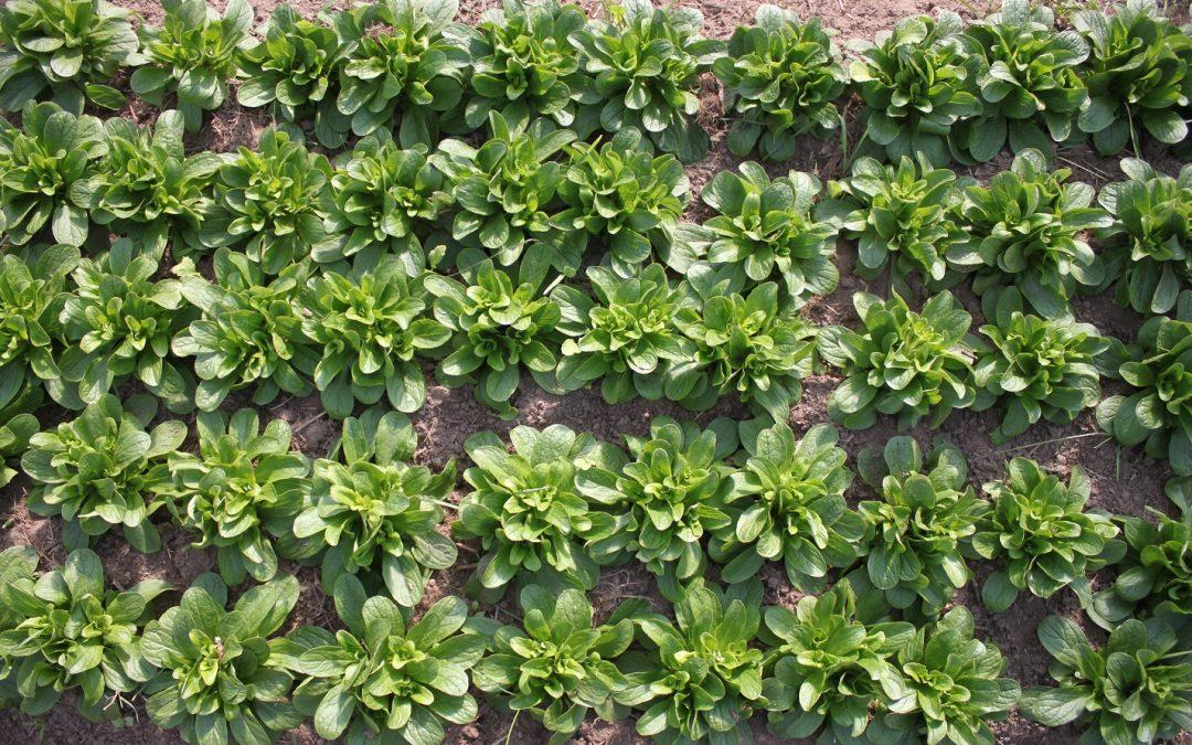 Feldsalat bereit für die Ernte
